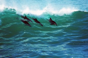 Dolphins in Sydney