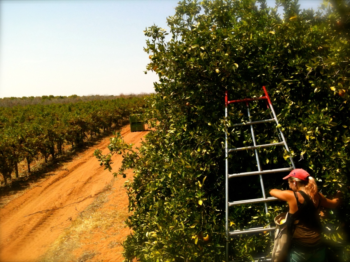 A Pick of my Orange Picking Pics